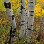 """Uinta Forest Aspens 6"" by mikenorton"