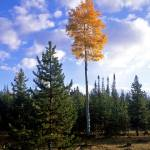 """""""Ashley Forest Aspens 2"""" by mikenorton"""