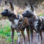 """Wild African Dogs"" by robgerman"