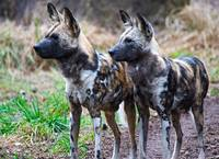 Wild African Dogs