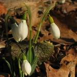 """Snowdrops in Prospect Park"" by citybirder"