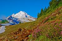 Mt Baker Path with Wild Flowers
