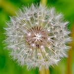 """Dandilion clock"" by catherineflowermonkey"