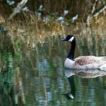 """""""Tranquil Goose"""" by robgerman"""