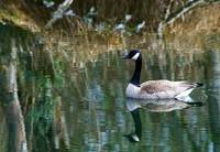 Tranquil Goose