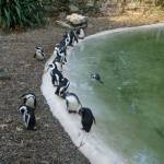 """Penguins at the Zoo"" by raftergood"