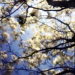 """""""Magnolias"""" by firda"""