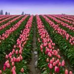 """Pink Tulip Rows"" by robgerman"