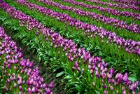 Sea of Violet Tulips