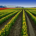 """""""Tulip Rows - Red and Yellow"""" by robgerman"""