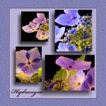 """Hydrangea Collage"" by robgerman"