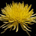 """Yellow"" by MisturPhotography"