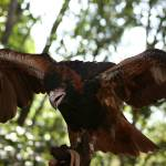 """Young Wedge-Tail Eagle"" by BlowflyImaging"
