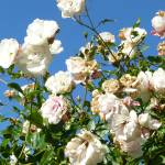 """""""White Roses"""" by MelissaMabie"""