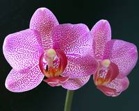 Phalaenopsis Brother John