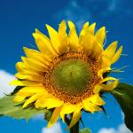 """Sunflower against a blue sky"" by canbalci"