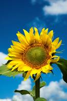 Sunflower against a blue sky
