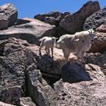 """""""Mt Evans Goat"""" by DarenWillden"""