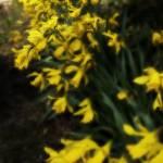 """Daffodils"" by damokeen"