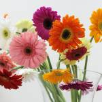 """""""Gerber Daisies"""" by LizTheRed"""