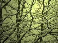Snowy Tangle Sylvan