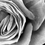 """Monochrome Rose"" by TonyDoddPhotography"
