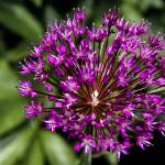 """Purple Sensation"" by TonyDoddPhotography"