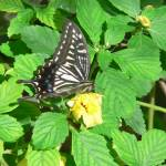 """""""Butterfly on a yellow flower"""" by jmurdough"""