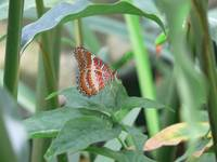 Orange, Red, and White Butterfly