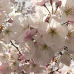 """White Cherry Blossoms"" by jmurdough"