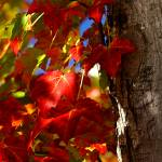 """Red Leaves"" by kml"