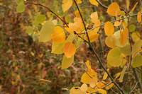 Aspens Leaves