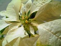 Pale Yellow Poinsettia Close-Up