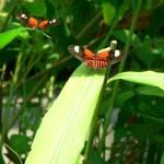 """Orange, Black, and White Butterflies"" by jmurdough"