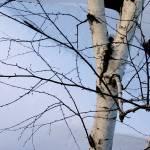 """""""Snow Birch"""" by edhoopman"""