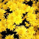"""yellow daisies"" by derekmccrea"