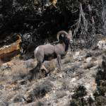 """Rocky Mountain Bighorn Sheep"" by VanPhillips"