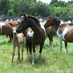 """Chincoteague Pony Mare and Foal"" by wildpony"