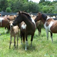 """Chincoteague Pony Mare and Foal"" by Amanda G"