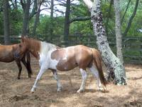 Wild Chincoteague Pony Stallion