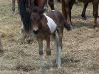 Chincoteague Pony Foal
