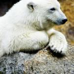 """Knutt - The Polar Bear Cub"" by damokeen"