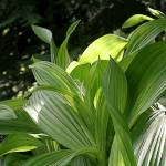 """False hellebore leaves #1"" by eye4nature"