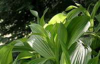 False hellebore leaves #1
