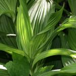 """False hellebore leaves"" by eye4nature"