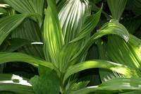 False hellebore leaves