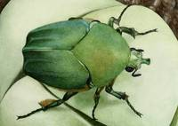 Green June-beetle