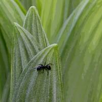Ant on false hellebore leaves