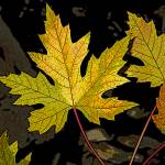 """Maple leaves"" by eye4nature"