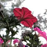 """Red and pink petunias"" by eye4nature"